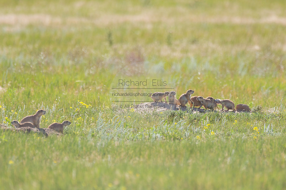 Black tailed Prairie Dogs in a coterie look out from their burrows in a colony occupying a suburban field in Cheyenne, Wyoming.