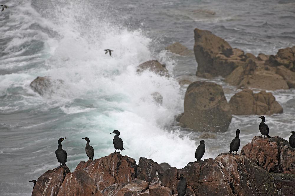 Shags ( Phalacrocorax aristotelis) Ireland Saltee Islands south east coast