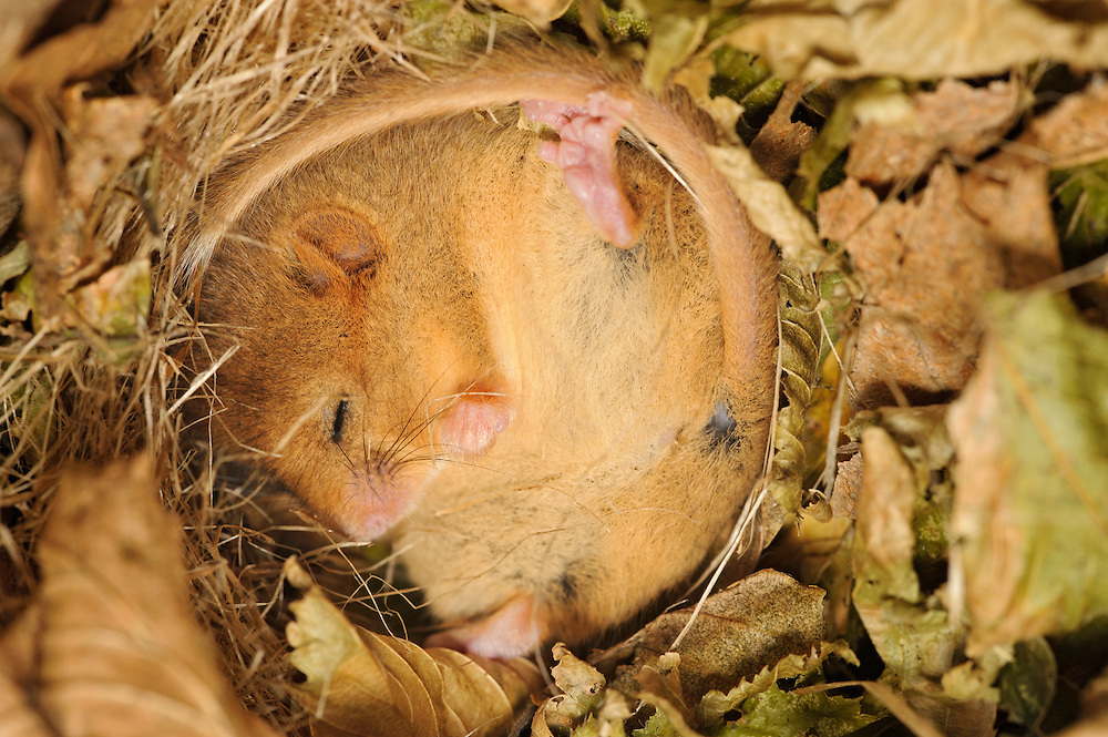 Hazel dormouse (Muscardinus avellanarius), Kent, UK. Members of Kent Mammal Group conduct monthly  Hazel Ryan checks dormouse nest box. Dormouse survey. Torpid dormouse in nestbox.
