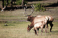 Bull, cow, calf, elk, yellowstone national Park