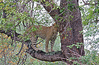 Leopard (Panthera pardus) treed by African wild dogs, South Africa