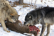 Gray wolves snarl at each other over a deer carcass in winter habitat. Captive pack.