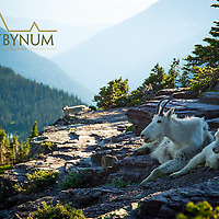 nanny kid mountain goats resting on cliff