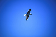 A seagull in flight at the Otago Peninsula, south island, new zealand, 1999.
