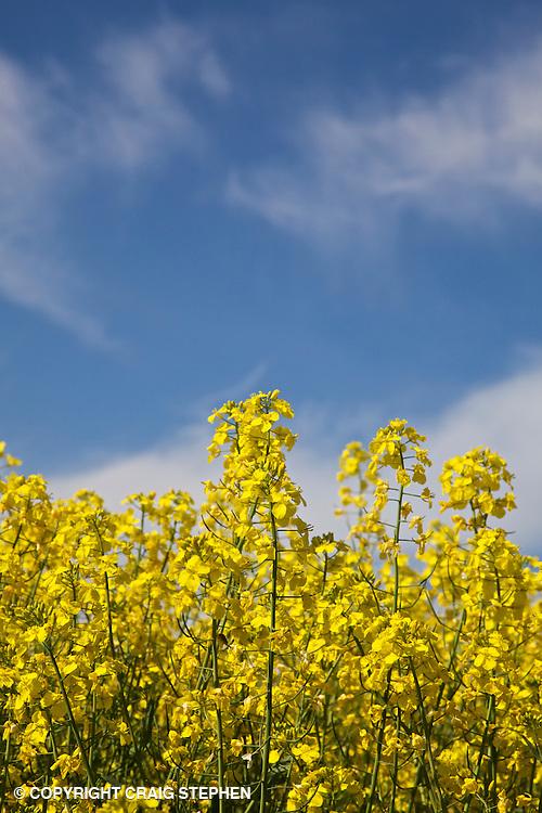 Oilseed rape against deep blue sky