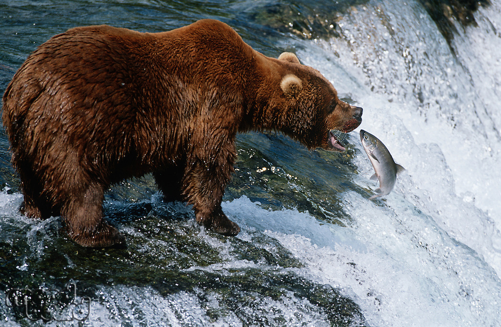 USA Alaska Katmai National Park Brown Bear catching Salmon in river side view
