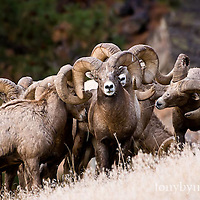 bighorn sheep herd, trophy bighorn sheep ram herd wild rocky mountain big horn sheep