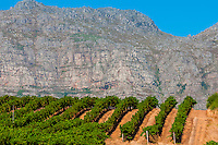 Vineyards at harvest time, Kleine Zalze Wines, Stellenbosch, Cape Winelands, South Africa. , Stellenbosch, Cape Winelands, South Africa.