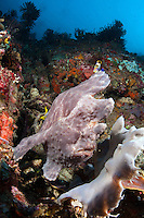 Giant Frogfish Perched next to same colored sponge on reef slope..Shot in Indonesia