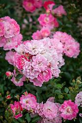 Rosa The Hilda Ogden Rose syn. 'Korchakon'
