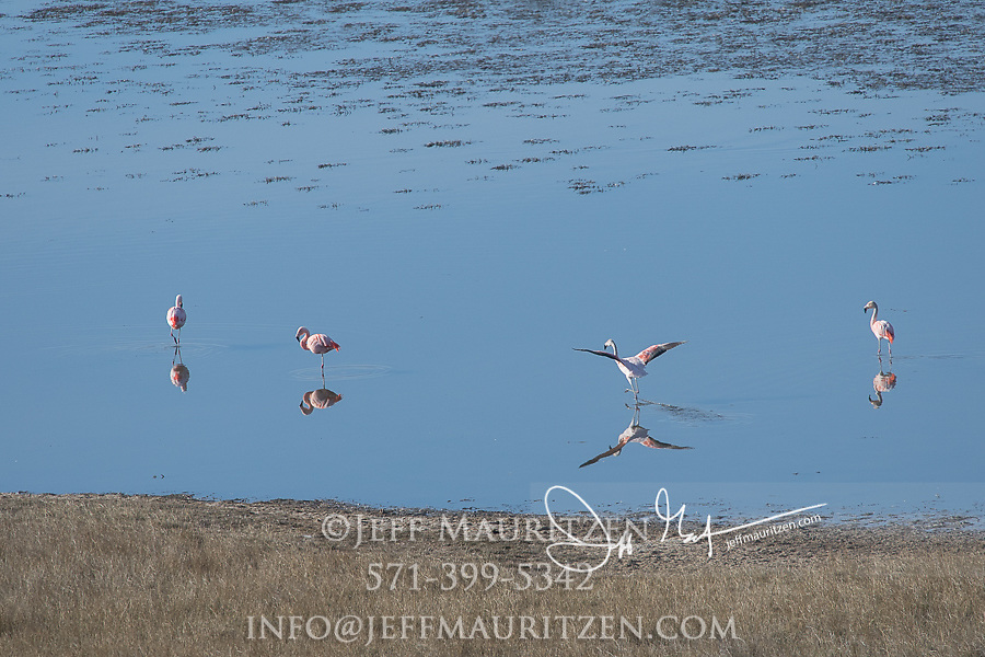 Four Chilean flamingos in a lake in Torres del Paine National Park, Chile.