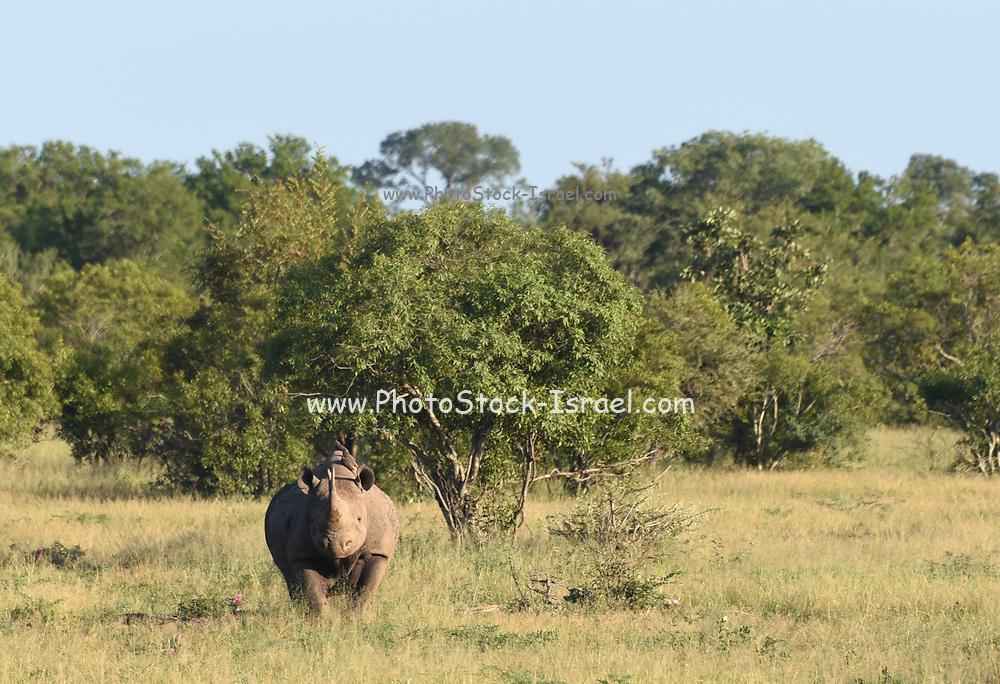 White rhinoceros AKA Square-lipped rhinoceros (Ceratotherium simum), adult female, Kruger National Park, South Africa