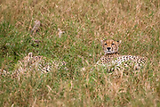 Cheetahs resting and panting in the grass. Photographed at Serengeti National Park, Tanzania