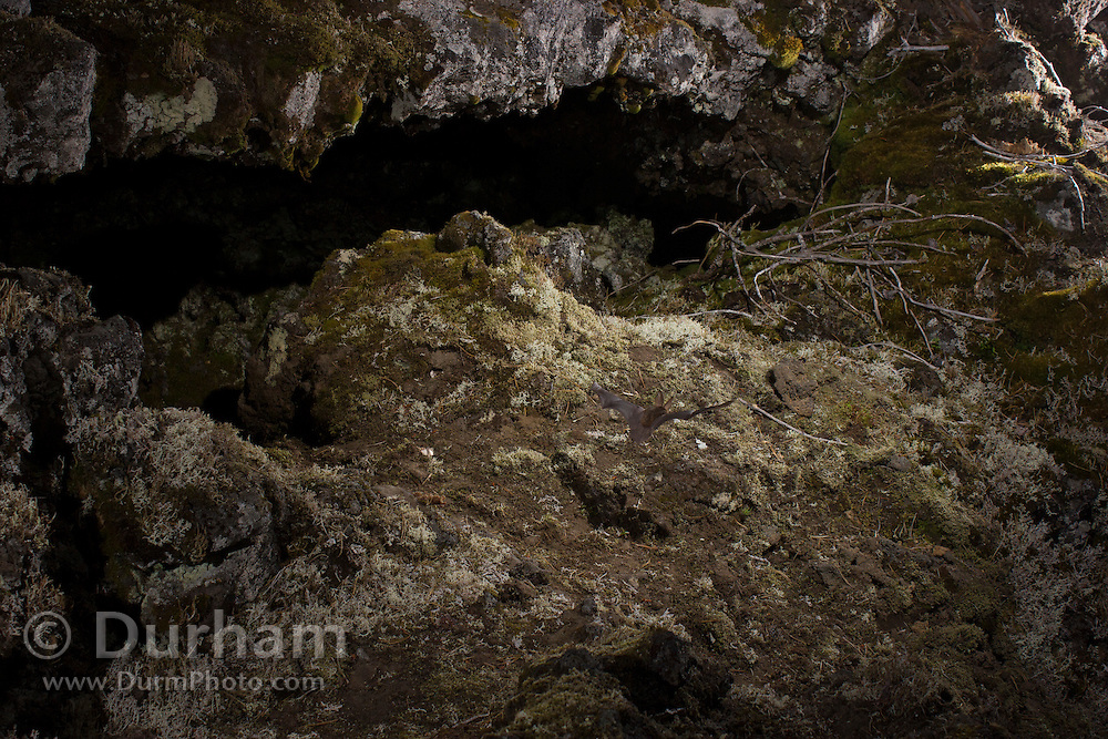 A Townsend's big-eared bat (Corynorhinus townsendii) flies near the ground at the entrance to a cave in the Big Lava Bed, part of the Gifford-Pinchot National Forest, Washington.