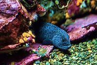 Wolf Eel (Anarhichadidae)