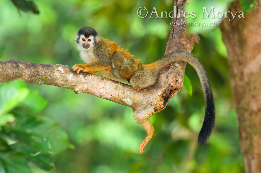 Central American squirrel monkey (Saimiri oerstedii) is a squirrel monkey species from the Pacific coast of Costa Rica and Panama. The Central American squirrel monkey population declined precipitously after the 1970s. This decline is believed to be caused by deforestation, hunting, and capture to be kept as pets. Image by Andres Morya
