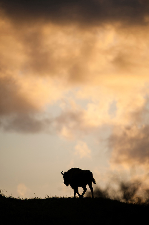 European Bison (Bison bonasus) walking on a dune top at sunrise