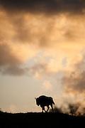 European Bison (Bison bonasus) walking on a dune top at sunrise