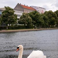 Swans in Peblinge Sø, one of the rectangular lakes of the Søerne in central Copenhagen, Denmark.