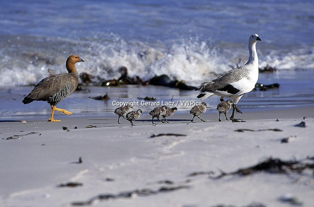 MAGELLAN GOOSE OR UPLAND GOOSE chloephaga picta, MALE FEMALE AND CHICKS ON BEACH, ANTARCTICA