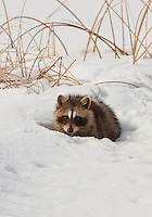 Bear River Bird Refuge February 2013 heavy snow and temperatures under freezing are forcing the Raccoon's to search for food during the day normally they would search for food in the cover of the night.