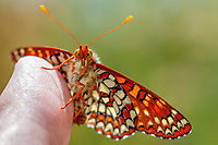 Euphydryas c. chalcedona (Chalcedon Checkerspot) at Grizzly Flat, Angeles NF, Los Angeles Co, CA, USA, on 26-May-13