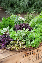 Harvested herbs in a shallow wicker basket including sage, basil, rosemary, parsley, fennel and coriander