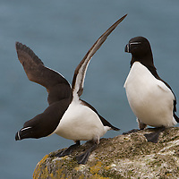 Two Razorbills perched on rock on cliff in Iceland preparing to take flight.
