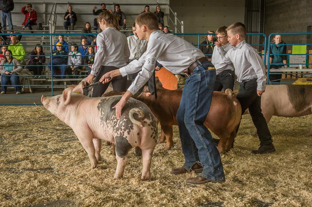4-H handlers show their pigs at the Alaska State Fair in Palmer, Alaska
