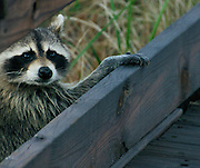 Raccoon at Captree State Park, Long Island, New York
