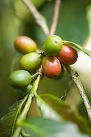 Coffee beans ripening, Panabaj, Guatemala.