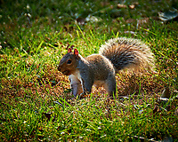 Squirrel with an Acorn. Image taken with a Fuji X-H1 camera and 100-400 mm OIS lens (ISO 200, 400 mm, f/5.6, 1/125 sec).
