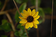 This is a Narrow-Leaved Sunflower.  Along the Path II was taken on Sanibel, Florida.