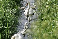 Nederland Gouda 25 mei 2006 20060525 Foto: David Rozing .Zwanen met jongen zwemmen in rij in watergang in recreatiegebied het Steegje.  ..Ten zuidwesten van Gouda, aan de overkant van de Gouwe, ligt natuur- en recreatiegebied 't Weegje. Ooit was het onderdeel van een omvangrijk moeras dat zich uitstrekte van Zevenhuizen tot Gouda. Tegenwoordig vormt 't Weegje een oase van rust en natuur en is het de ideale plek om de drukte van alle dag te ontvluchten...Serie tbv Schieland en de Krimpenerwaard, deze zorgt als waterschap voor droge voeten en schoon water in een bepaald gebied. ..Foto David Rozing/