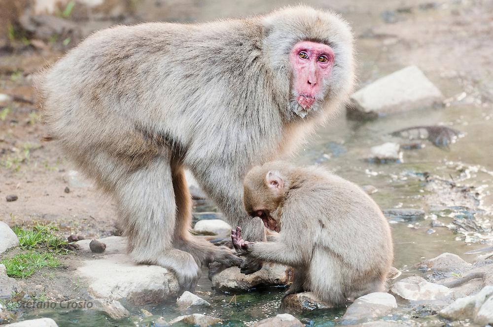JAPAN, Jigokudani Yaen-koen, Nagano (Honshu).Snow monkey (Macaca fuscata) with baby