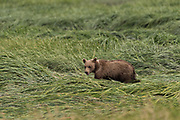 A brown bear spring cub walks through sedge grass at the McNeil River State Game Sanctuary on the Kenai Peninsula, Alaska. The remote site is accessed only with a special permit and is the world's largest seasonal population of brown bears in their natural environment.