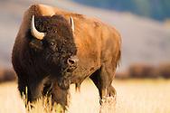 The setting sun illuminates a bison grazing in a Grand Teton grassland