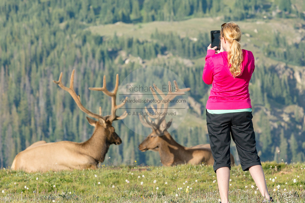 Tourists take selfies by a herd of North American elk along a mountain slope in the Rocky Mountain National Park in Estes Park, Colorado.