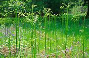 ADFTR3 New growth of bracken fronds in deciduous woods in spring