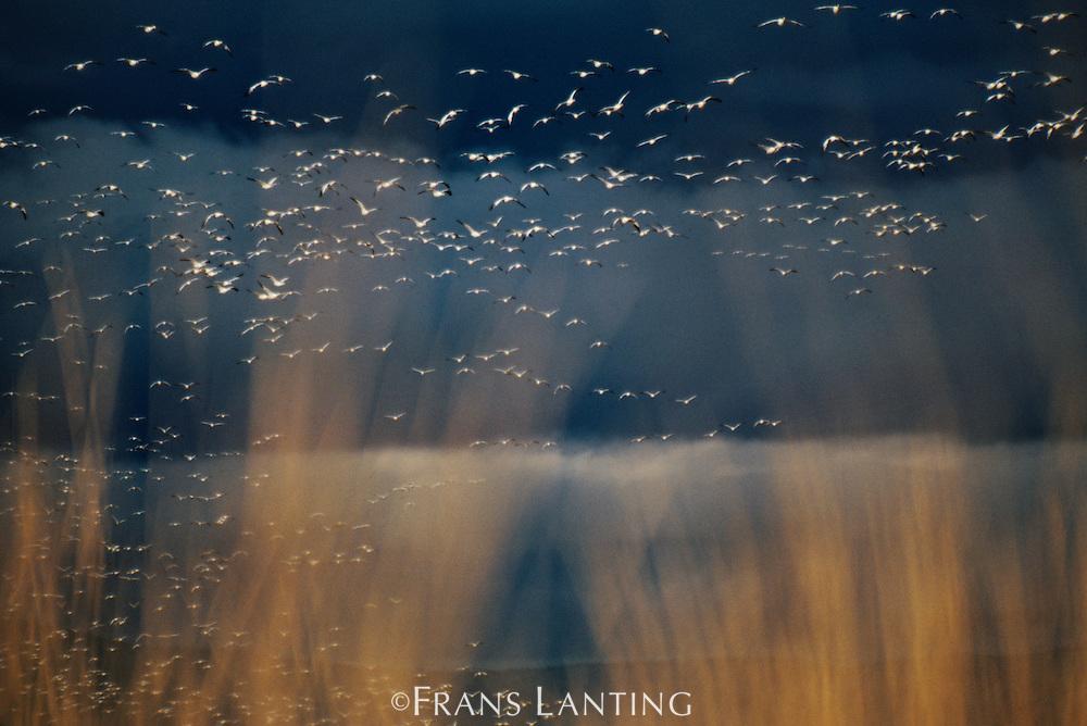 Snow geese landing in field, Chen caerulescens, Klamath Basin National Wildlife Refuge, California