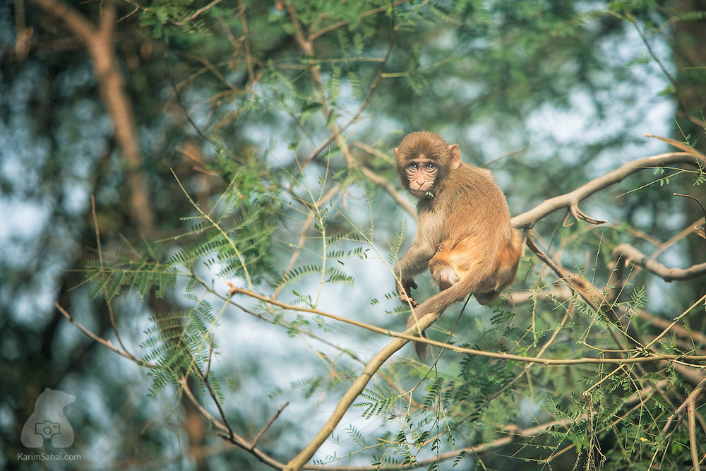 A young rhesus macaque (Macaca mulatta) at the Keoladeo Ghana Wildlife Sanctuary reacts to a loud altercation involving fellow monkeys... <br /> In the 'Ramayana', the hindu good-versus-evil epic, the simian-god Hanuman goes to the rescue of Sita, Lord Rama's wife. Hanuman epitomises strength, devotion and perseverance and is a widely worshiped hindu deity.