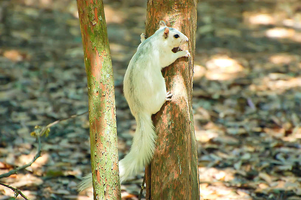 "These white fox squirrels can be infrequently seen in the Big Bend area of the Florida panhandle. This image has been published in the books, ""Mammals of Florida"" and ""Mammals of Georgia"" - both fantastic field guides by Stan Tekiela."