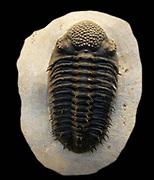 Drotops armatus.  Struve, 1995.  Devonian.  Merakib, Morocco.