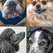 Portraits of four dogs : Pomeranian, Bulldog, Standard Poodle, Springer Pointer  <br /> ________________________<br /> <br /> * English Bulldog - GOR-150955-cE18<br /> * Pomeranian - GOR-14129-cE5cR18<br /> * Standard Poodle - GOR-150980-cE18 <br /> * Springer Ponter - GOR-150952-18