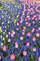 Tulpen Art, Keukenhof, Holland