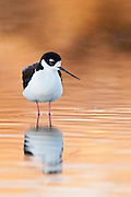 Black-necked Stilt, Himantopus mexicanus , Washoe County, Nevada