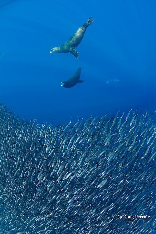 California sea lions, Zalophus californianus, herd a mixed baitball of sardines and Pacific chub mackerel or green mackerel Scomber japonicus, off Baja California, Mexico ( Eastern Pacific Ocean )