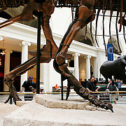 Chicago&rsquo;s Field Museum of Natural History is the home to SUE, a 67-million year-old Tyrannosaurus rex fossil discovered in 1990 by paleontologist Sue Hendrickson near Faith, South Dakota. It was purchased by the Field Museum at an auction in 1997 for $8.4 million. It took 30,000 hours to prepare the more than 250 bones and teeth in her skeleton.<br /> Photography by Jose More