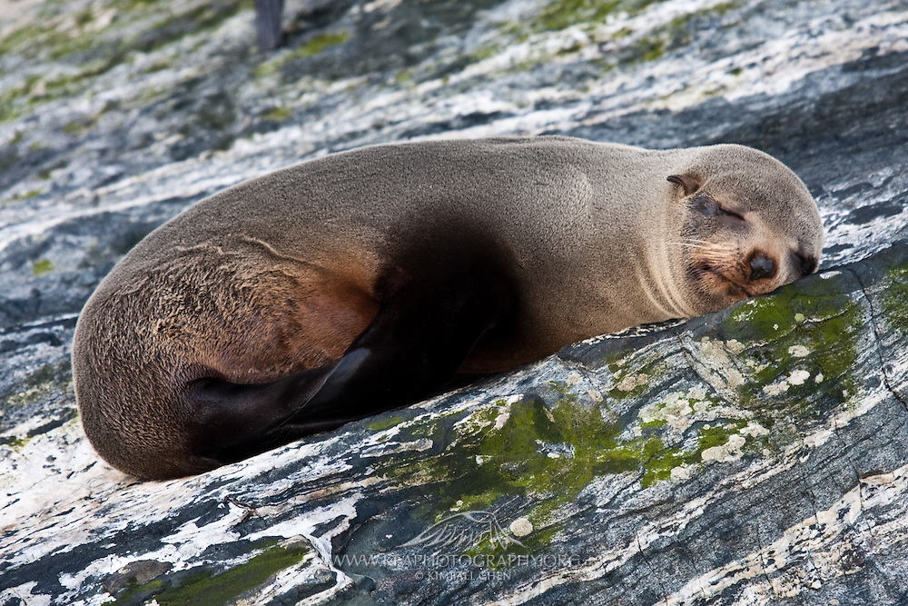 New Zealand Fur Seal, Milford Sound, New Zealand