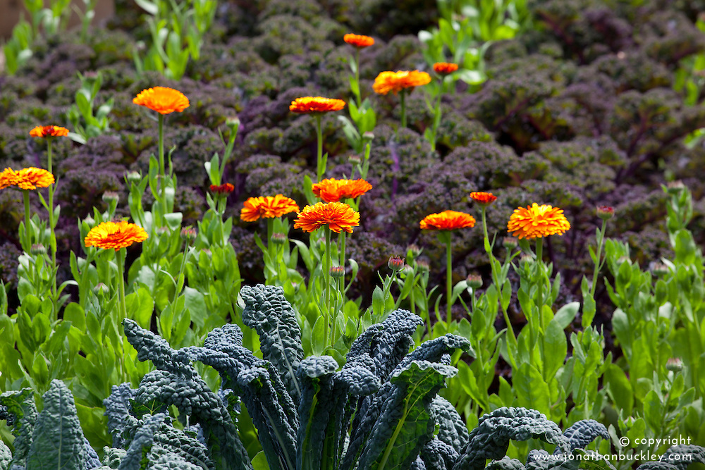 The kale bed in the vegetable garden with Calendula officinalis 'Indian Prince'. English marigold.